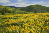 Arrowleaf Balsam Root, Winthrop, Methow Valley, Washington, USA Photographic Print by Charles Gurche