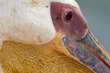 Great White Pelican, Walvis Bay, Namibia Photographic Print by David Wall