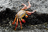 Sally Lightfoot Crab, Floreana, Punta Cormoran, Galapagos, Ecuador Photographic Print by Cindy Miller Hopkins