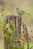 White-Crowned Sparrow (Zonotrichia Leucophrys) Foraging, Texas, USA Photographic Print by Larry Ditto