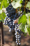 Purple Wine Grapes on the Vine, Napa Valley, California, USA Fotodruck von Cindy Miller Hopkins