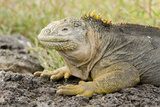Land Iguana Face Detail, South Plaza Island, Galapagos, Ecuador Photographic Print by Cindy Miller Hopkins