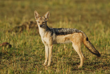 Black-Backed Jackal, Maasai Mara Wildlife Reserve, Kenya Photographic Print by Jagdeep Rajput