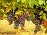 Merlot Grapes in Eastern Yakima Valley, Washington, USA Photographic Print by Richard Duval