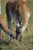 Guanaco Mother and Calf in Grassland, Chile Photographic Print by Martin Zwick