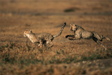 Pair of Cheetahs Running, Maasai Mara, Kenya Photographic Print by Adam Jones