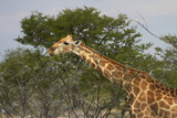 Giraffe, Etosha National Park, Namibia Photographic Print by David Wall