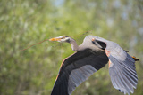 Great Blue Heron (Ardea Herodias) with Branch in Bill, Washington, USA Photographic Print by Gary Luhm