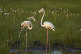 Greater Flamingoes, Nyae Nyae Conservancy, Near Tsumkwe, Namibia Photographic Print by David Wall