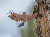Northern Flicker (Colaptes Auratus) Flies to Nest, Washington, USA Photographic Print by Gary Luhm