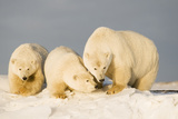 Polar Bear with Two 2-Year-Old Cubs, Bernard Spit, ANWR, Alaska, USA Photographic Print by Steve Kazlowski