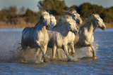 White Camargue Horses Running in Water, Provence, France Photographic Print by  Jaynes Gallery