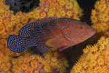 Coral Trout Fish and Coral, Raja Ampat, Papua, Indonesia Fotodruck von  Jaynes Gallery