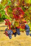 Cabernet Sauvignon Grapes in Columbia Valley, Washington, USA Fotodruck von Richard Duval