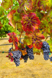 Cabernet Sauvignon Grapes in Columbia Valley, Washington, USA Photographic Print by Richard Duval