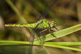 Female Western Pondhawk, Freeway Ponds Park, Albany, Oregon, USA Photographic Print by Rick A Brown