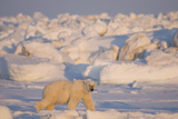 Polar Bear Adult Travels Through Pack Ice, Chukchi Sea, Alaska, USA Photographic Print by Steve Kazlowski