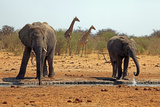 Elephants and Giraffes, Etosha, Namibia Photographic Print by Kymri Wilt