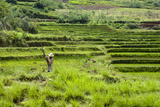 People Working in Green Rice Fields, Madagascar Photographic Print by Anthony Asael