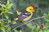 Western Tanager (Piranga Ludoviciana) Male in Spring, Texas, USA Photographic Print by Larry Ditto