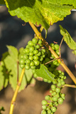 Pinot Gris Grapes Ripen at a Whidbey Island Vineyard, Washington, USA Lámina fotográfica por Richard Duval