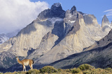 Guanaco with Cuernos Del Paine in the Background, Chile Photographic Print by Martin Zwick