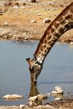 Angolan Giraffe, Etosha, Namibia Photographic Print by Kymri Wilt