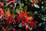 Firebush, Punihuil, Chiloe, Region Los Lagos, Chile Photographic Print by Fredrik Norrsell