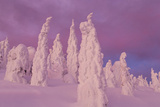 Snow Ghosts in Twilight in the Whitefish Range, Montana, USA Photographic Print by Chuck Haney