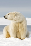 Polar Bear Sits Along Barrier Island, Bernard Spit, ANWR, Alaska, USA Photographic Print by Steve Kazlowski