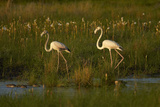 Greater Flamingoes, Nyae Nyae Conservancy, Near Tsumkwe, Namibia Photographic Print by David Wall