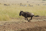Blue Wildebeest on the Run in Maasai Mara Wildlife Reserve, Kenya Photographic Print by Jagdeep Rajput