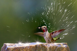 Anna's Hummingbird Taking a Shower, Santa Cruz, California, USA Photographic Print by Tom Norring