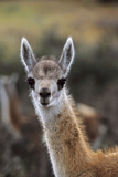 Guanaco Calf Portrait, Chile Photographic Print by Martin Zwick