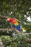 Scarlet Macaw (Ara Macao) Wild, Chiapas State, Mexico Photographic Print by Michel Benoy Westmorland