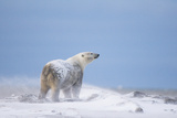 Polar Bear Male on a Barrier Island, Bernard Spit, ANWR, Alaska, USA Photographic Print by Steve Kazlowski