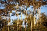 Bald Cypress in Water, Pierce Lake, Atchafalaya Basin, Louisiana, USA Photographic Print by Alison Jones