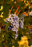 Grapes in Red Mountain Vineyard in Yakima Valley, Washington, USA Photographic Print by Richard Duval
