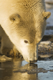 Polar Bear Drinks from Water Puddle, Bernard Spit, ANWR, Alaska, USA Photographic Print by Steve Kazlowski