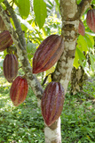 Ripe Red Cacao Pods, Agouti Cacao Farm, Punta Gorda, Belize Fotografie-Druck von Cindy Miller Hopkins