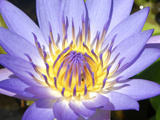 Water Lilly, Kansas, USA Photographic Print by Michael Scheufler