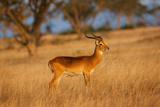 The Ugandan Kob, Queen Elizabeth National Park, Uganda Photographic Print by Martin Zwick