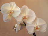 Delicate Orchids Blooming on the Big Island  Hawaii  USA