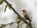 Northern Flicker (Colaptes Auratus) on Branch, Washington, USA Photographic Print by Gary Luhm