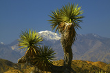 Joshua Trees, Joshua Tree National Park, California, USA Photographic Print by Michel Hersen