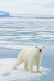 Polar Bear Travels Along Sea Ice, Spitsbergen, Svalbard, Norway Photographic Print by Steve Kazlowski
