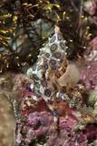 Blue-Ring Octopus and Coral, Raja Ampat, Papua, Indonesia Fotoprint van  Jaynes Gallery