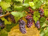 Pinot Noir Grapes in Eastern Yakima Valley, Washington, USA Lámina fotográfica por Richard Duval