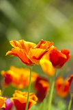 Poppies in Full Bloom, Seattle, Washington, USA Photographic Print by Terry Eggers