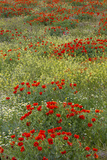 Red Poppy Field in Central Turkey During Springtime Bloom Photographic Print by Darrell Gulin